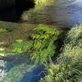 写真: 忍野の川の流れ