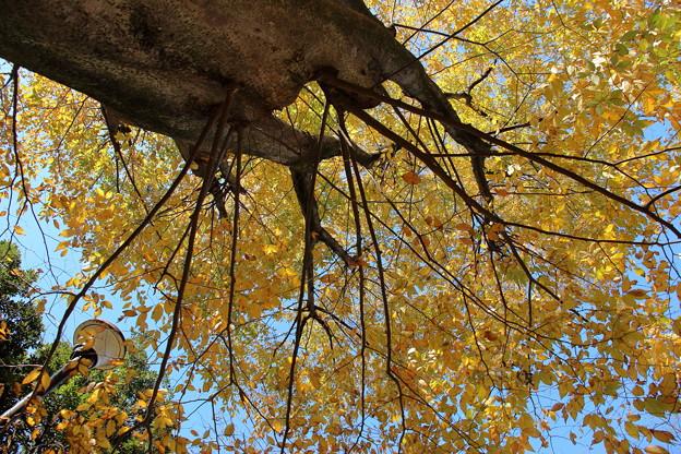 見上げる黄葉