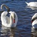 写真: 山中湖の白鳥