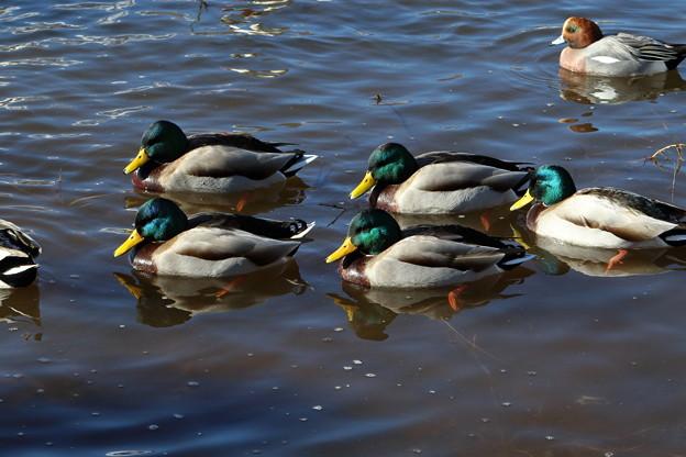 写真: 山中湖の鴨
