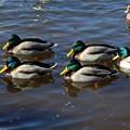 Photos: 山中湖の鴨