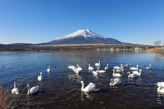 富士と白鳥1