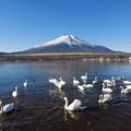 写真: 富士と白鳥1