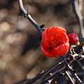 Photos: 木瓜の花