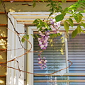 Wisteria Vines and the Window