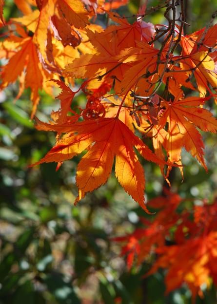 写真: Japanese Maple 11-08-14