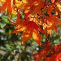 Japanese Maple 11-08-14