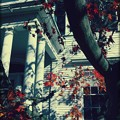 Peter's Japanese Maple 11-08-14
