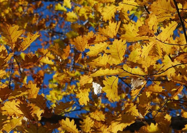 Oak in Golden 11-08-14