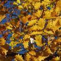 写真: Oak in Golden 11-08-14