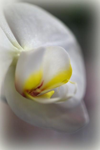 Moth Orchid II 2-1-15