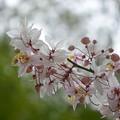 Pink Shower Tree II 3-26-17