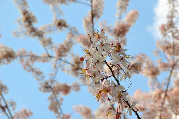 Pink Shower Tree IV 4-9-17
