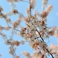 写真: Pink Shower Tree IV 4-9-17
