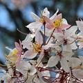 Pink Shower Tree VI 4-9-17