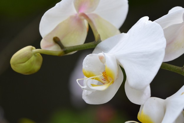 Moth Orchid II 4-18-17