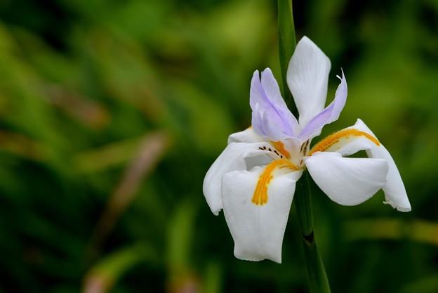 Photos: Butterfly Iris I 4-18-17