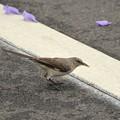 Northern Mockingbird III 4-22-17