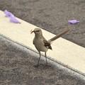 Northern Mockingbird IV 4-22-17