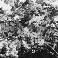 Cassia fistula x javanica 'Hospital White' 5-21-17