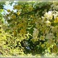 写真: White Shower Tree V 5-21-17