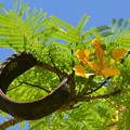 Photos: Yellow Royal Poinciana I 5-21-17