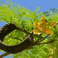 Yellow Royal Poinciana I 5-21-17
