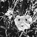 写真: African Iris 5-21-17