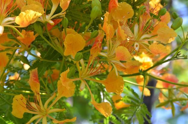 Yellow Royal Poinciana 5-28-17