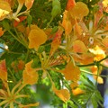 Yellow Royal Poinciana 5-28-17
