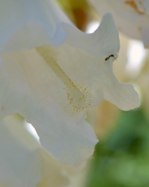 White Jacaranda III 5-28-17