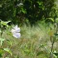 Swamp Rosemallows 5-28-17