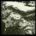 写真: Rain Lilies 5-28-17
