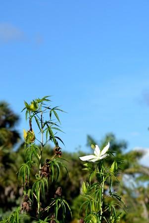 Swamp Hibiscus 6-25-17