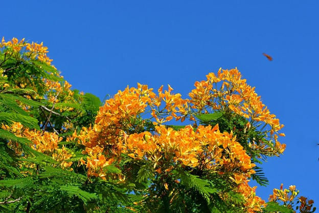 Yellow Royal Poinciana I 6-25-17