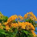 写真: Yellow Royal Poinciana I 6-25-17