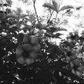 Allamanda cathartica 'Cherries Jubilee' I 7-15-17