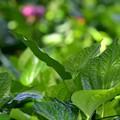 Green of Wild Pepper and Pink of Curcuma 7-15-17