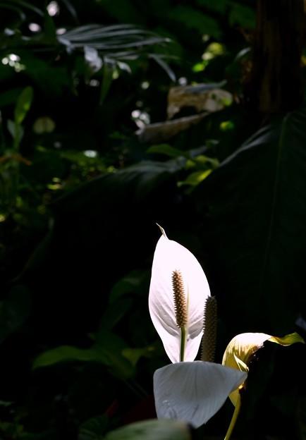 Spathiphyllum 'Figaro' 7-15-17