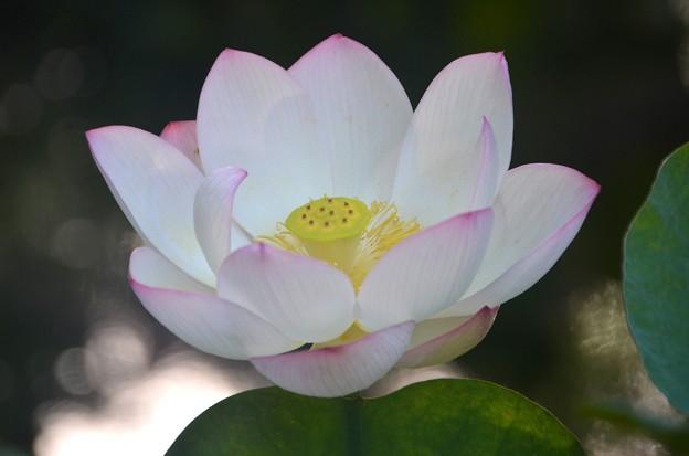 写真: Lotus I 8-6-17