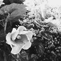 Hibiscus III 7-30-17