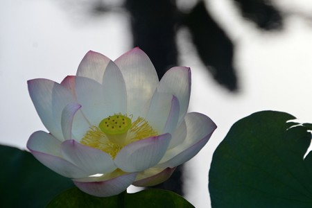 Lotus II 8-6-17