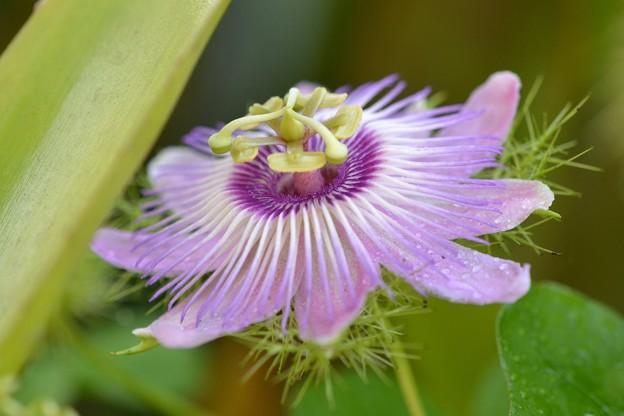 Stinking Passion Flower 7-30-17