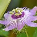 写真: Stinking Passion Flower 7-30-17