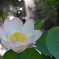Lotus IV 8-6-17