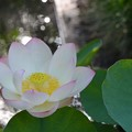 写真: Lotus IV 8-6-17