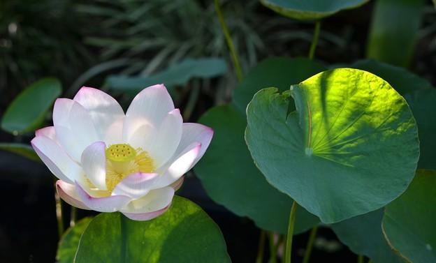 Lotus VIII 8-6-17