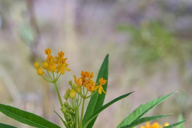 Tropical Milkweed II 10-1-17