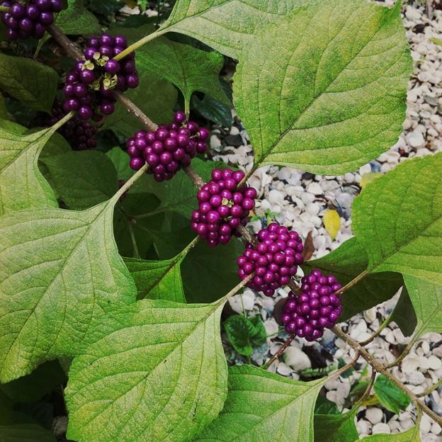 American Beautyberry III 9-3-17