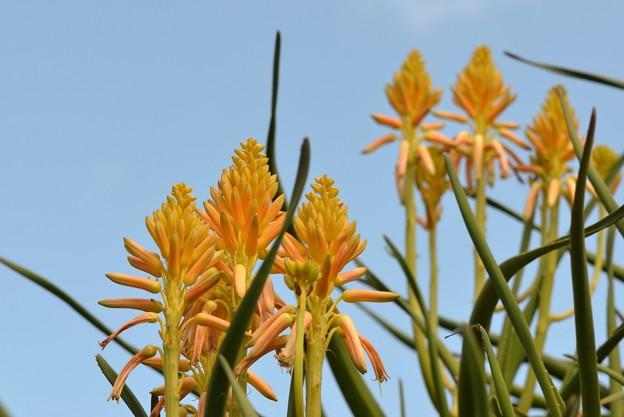 Tree Aloe 10-1-17